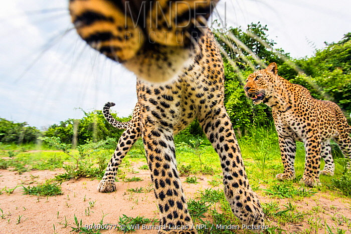 African leopard (Panthera pardus pardus) investigating remote camera South Luangwa National Park, Zambia  -  Will Burrard-Lucas/ npl