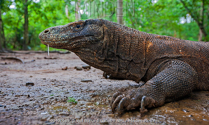 Komodo dragon (Varanus komodoensis) with saliva dripping from mouth, saliva contains virulent bacteria which infects wounds Komodo National Park, Komodo Island, Indonesia  -  Will Burrard-Lucas/ npl