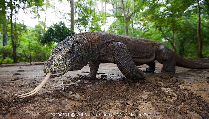 Komodo dragon (Varanus komodoensis) sensing with forked tongue, Komodo National Park, Komodo Island, Indonesia  -  Will Burrard-Lucas/ npl