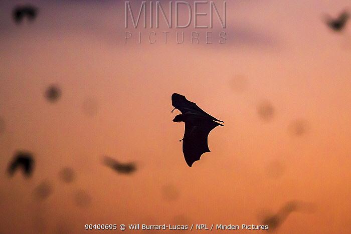 Straw-coloured fruit bat (Eidolon helvum) in flight, Kasanka National Park, Zambia  -  Will Burrard-Lucas/ npl