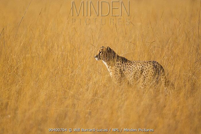 Cheetah (Acinonyx jubatus) in long grass, Busanga Plains, Kafue National Park, Zambia  -  Will Burrard-Lucas/ npl