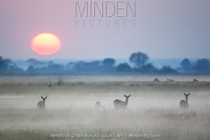 Waterbuck (Kobus ellipsiprymnus) females in early morning mist, Busanga Plains, Kafue National Park, Zambia  -  Will Burrard-Lucas/ npl