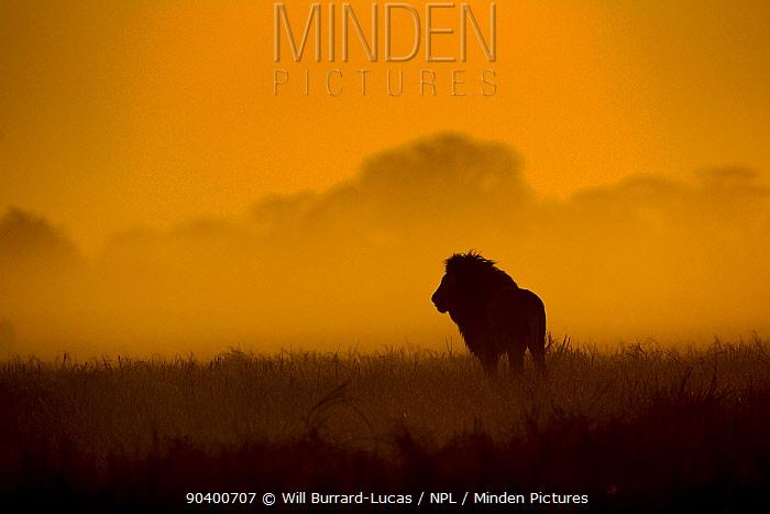 Male Lion (Panthera leo) silhouetted against sunrise, Busanga Plains, Kafue National Park, Zambia  -  Will Burrard-Lucas/ npl