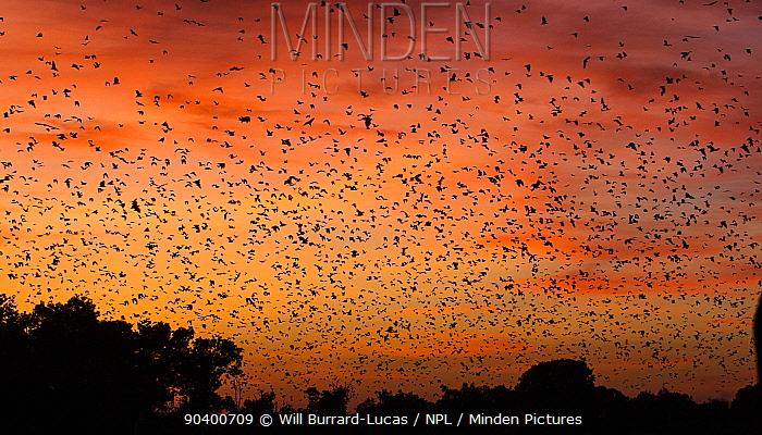 Mass of Straw-coloured fruit bat (Eidolon helvum) in flight at dawn, Kasanka National Park, Zambia  -  Will Burrard-Lucas/ npl