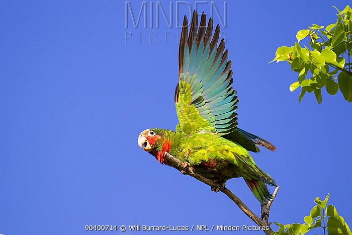 Cuban Amazon (Amazona leucocephala) taking off, Grand Cayman Island, Cayman Islands  -  Will Burrard-Lucas/ npl