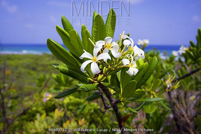 Wild jasmine (Plumeria obtusa), Cayman Brac, Cayman Islands  -  Will Burrard-Lucas/ npl