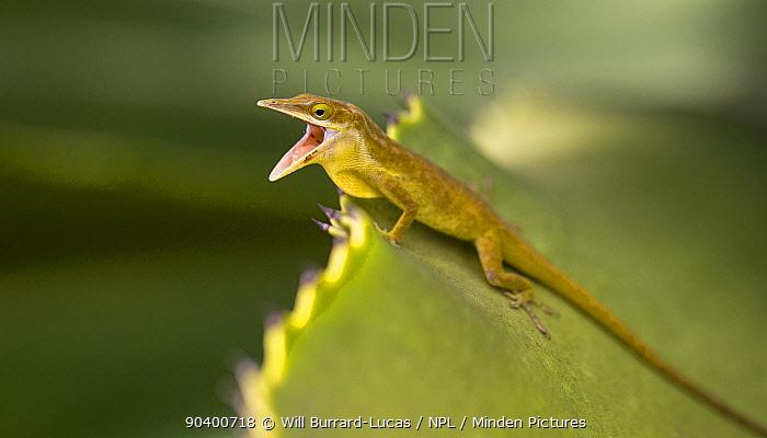 Little Cayman Green Anole (Anolis maynardi) challenging a rival male, Little Cayman, Cayman Islands Endemic species  -  Will Burrard-Lucas/ npl