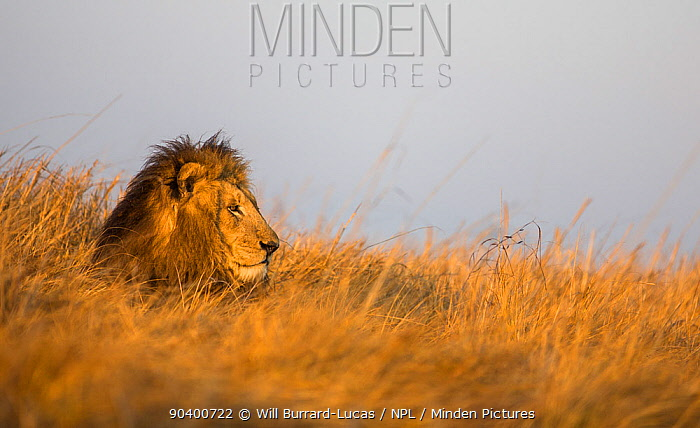 Lion (Panthera leo) resting in grass, Busanga Plains, Kafue National Park, Zambia  -  Will Burrard-Lucas/ npl