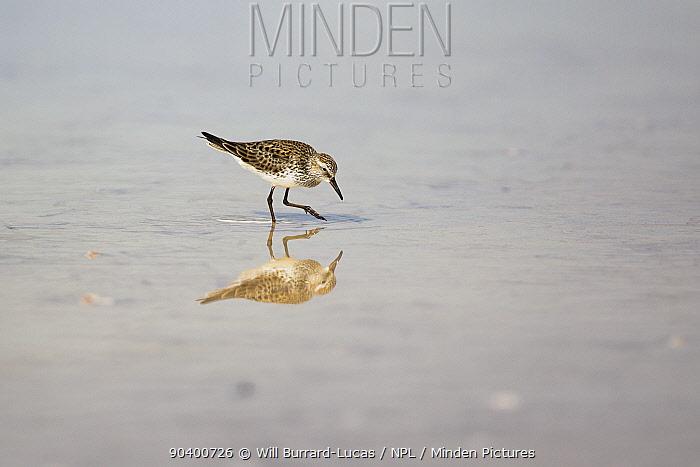 Sandpiper (Calidris sp) Grand Cayman Island, Cayman Islands  -  Will Burrard-Lucas/ npl