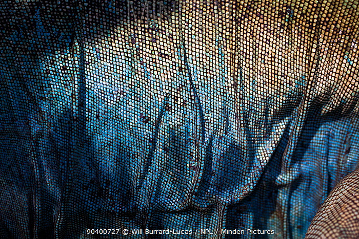 Abstract patterns on the flank of an endangered Grand Cayman Island blue iguana (Cyclura lewisi) in captive breeding program at Queen Elizabeth II Botanic Park, Grand Cayman Island, Cayman Islands  -  Will Burrard-Lucas/ npl