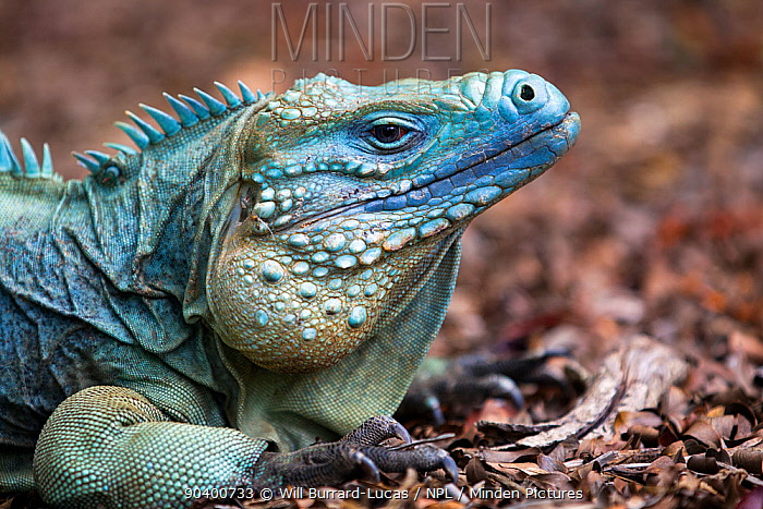 Cayman Island Blue Iguana (Cyclura lewisi) portrait, in captive breeding program at Queen Elizabeth II Botanic Park, Grand Cayman Island, Cayman Islands  -  Will Burrard-Lucas/ npl