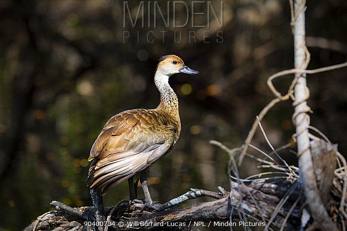 West Indian Whistling Duck (Dendrocygna arborea) Grand Cayman Island, Cayman Islands  -  Will Burrard-Lucas/ npl