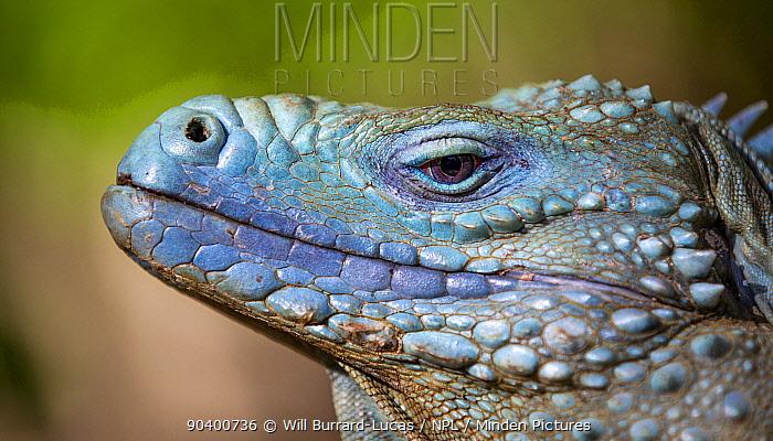 Grand Cayman Island blue iguana (Cyclura lewisi) close up portrait, in captive breeding program at Queen Elizabeth II Botanic Park, Grand Cayman Island, Cayman Islands  -  Will Burrard-Lucas/ npl