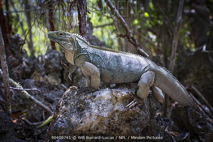 Grand Cayman Blue iguanga (Cyclura lewisi) Salina Reserve, Grand Cayman Island, Cayman Islands  -  Will Burrard-Lucas/ npl