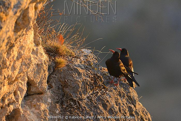 Red-billed choughs (Pyrrhocorax pyrrhocorax) Gorges du Tarn, France, December  -  Fabrice Cahez/ npl