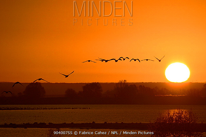 Greylag Goose (Anser anser) flock flying at sunrise, Lac du der, Champagne, France, November  -  Fabrice Cahez/ npl