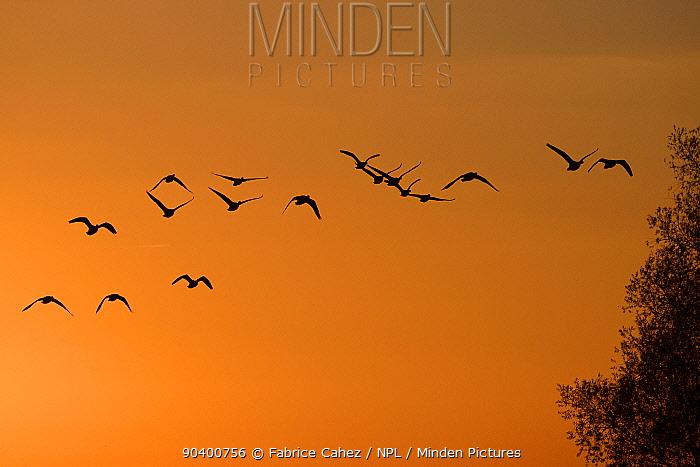 Greylag Goose (Anser anser) flock flying at sunrise, Lac du der, Champagne, France, November  -  Fabrice Cahez/ npl