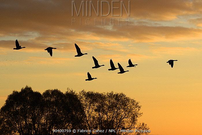 Greylag goose (Anser anser) flock flying in formation at sunrise, France, November  -  Fabrice Cahez/ npl