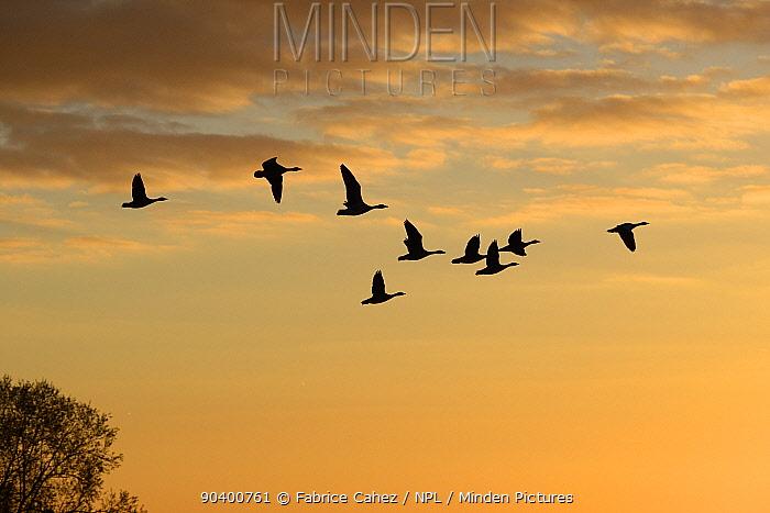 Greylag Goose (Anser anser) flock flying in formation at sunrise, Lac du der, Champagne, France, November  -  Fabrice Cahez/ npl