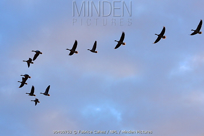 Greylag Goose (Anser anser) flock flying in formation, Lac du der, Champagne, France, November  -  Fabrice Cahez/ npl
