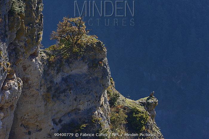 Eurasian griffon vulture (Gyps fulvus) perched on rock ledge, Gorges de la Jonte, France, December  -  Fabrice Cahez/ npl