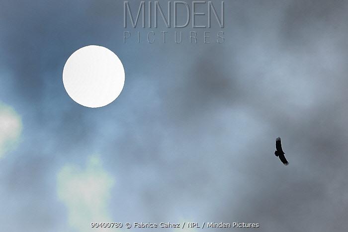 Eurasian griffon vulture (Gyps fulvus) in flight in front of sun, Gorges de la Jonte, France, December  -  Fabrice Cahez/ npl