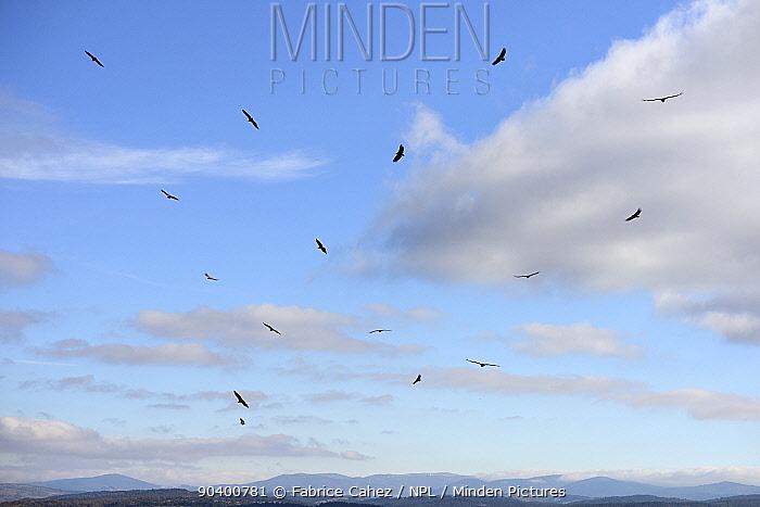Eurasian griffon vulture (Gyps fulvus) flock in flight circling, Gorges de la Jonte, France, December  -  Fabrice Cahez/ npl