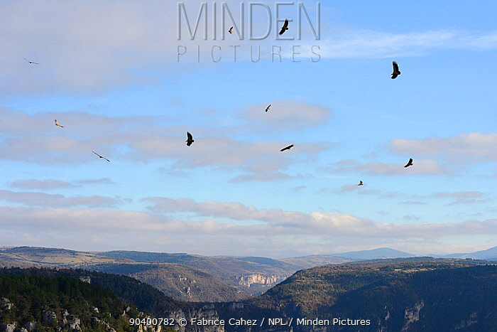 Eurasian griffon vulture, (Gyps fulvus) flock circling, Gorges de la Jonte, France, December  -  Fabrice Cahez/ npl