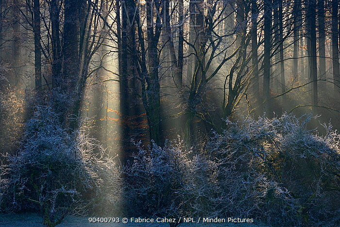 Misty Beech (Fagus sylvatica) forest in autumn, with sun rays shining through trees, Vosges mountains, France, November 2013  -  Fabrice Cahez/ npl