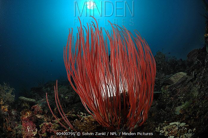 Whip coral (Ellisella ceratophyta) on reef, Raja Ampat, West Papua, Indonesia, Pacific Ocean  -  Solvin Zankl/ npl