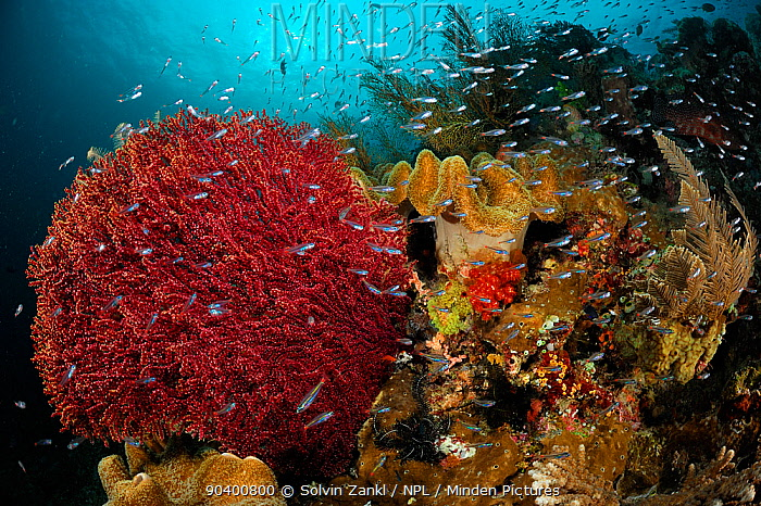 Colourful Soft corals (Alcyonacea) surrounded by reef fish, Raja Ampat, West Papua, Indonesia, Pacific Ocean  -  Solvin Zankl/ npl
