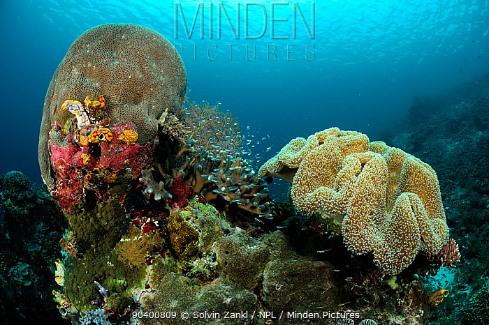 Gardiners coral (Gardineroseris planulata) and Toadstool coral (Sarcophyton sp) on the right, Raja Ampat, West Papua, Indonesia, Pacific Ocean  -  Solvin Zankl/ npl