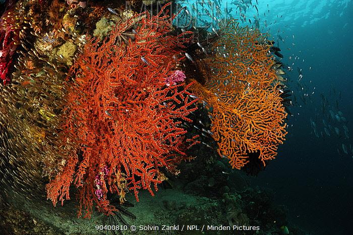 Shoals of fish near Marine octocorals (Astrogorgia sp) Raja Ampat, West Papua, Indonesia, Pacific Ocean  -  Solvin Zankl/ npl