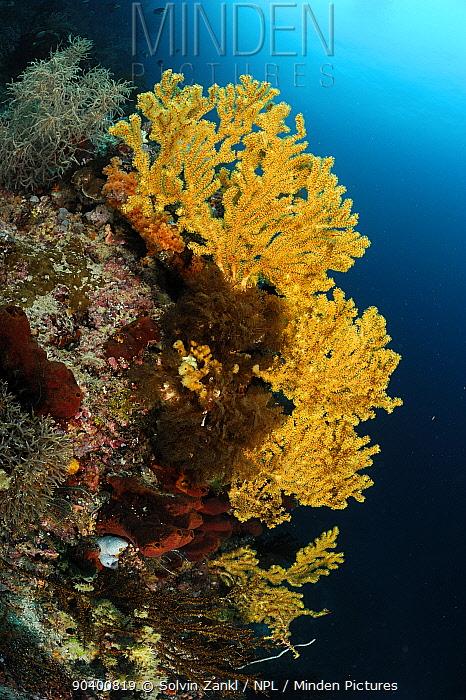 Fan coral (Alcyonacea, Gorgonacea) with open polyps, Raja Ampat, West Papua, Indonesia, Pacific Ocean  -  Solvin Zankl/ npl