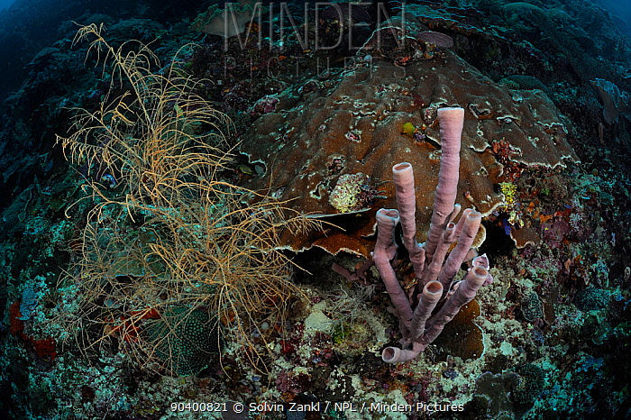Coral Reef at 30m depth with Black coral (Antipathes dichotoma) left and Tube sponge (Haliclona, Kallypilidion sp) on the right, Raja Ampat, West Papua, Indonesia, Pacific Ocean  -  Solvin Zankl/ npl