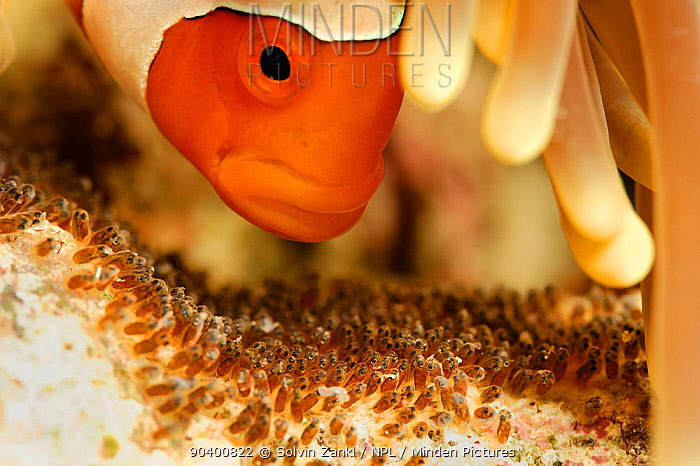 False clown anemonefish (Amphiprion ocellaris) tending its eggs at a late stage of development, North Raja Ampat, West Papua, Indonesia, Pacific Ocean  -  Solvin Zankl/ npl