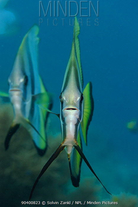 Round faced, Longfin batfish (Platax teira) Raja Ampat, West Papua, Indonesia, Pacific Ocean  -  Solvin Zankl/ npl