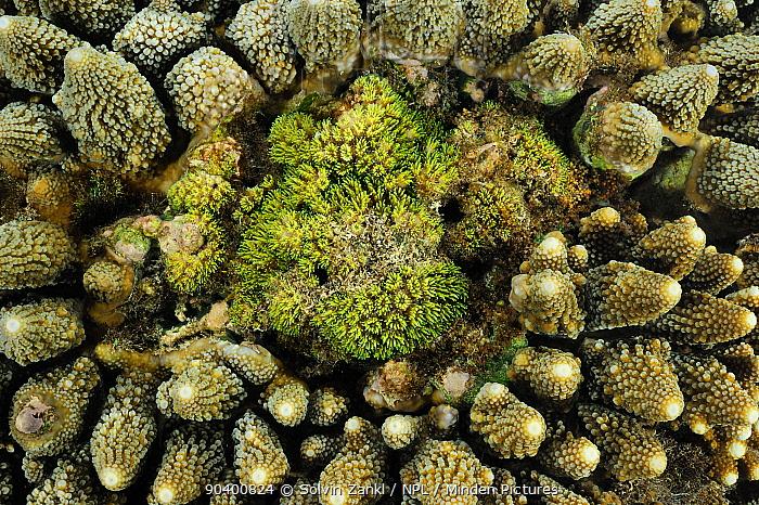 Stone coral (Acropora sp) Raja Ampat, West Papua, Indonesia, Pacific Ocean  -  Solvin Zankl/ npl