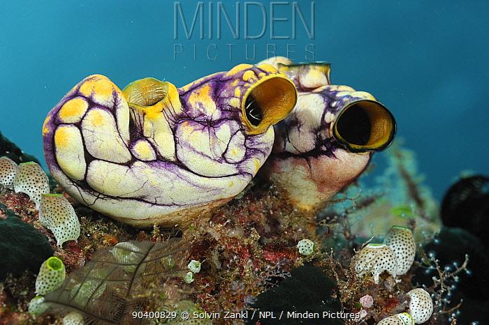 Ox heart ascidian (Polycarpa aurata) Raja Ampat, West Papua, Indonesia, Pacific Ocean  -  Solvin Zankl/ npl