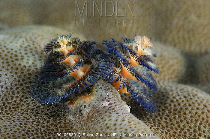 Christmas tree worms (Spirobranchus giganteus) on Porites coral (Porites sp) Raja Ampat, West Papua, Indonesia, Pacific Ocean  -  Solvin Zankl/ npl