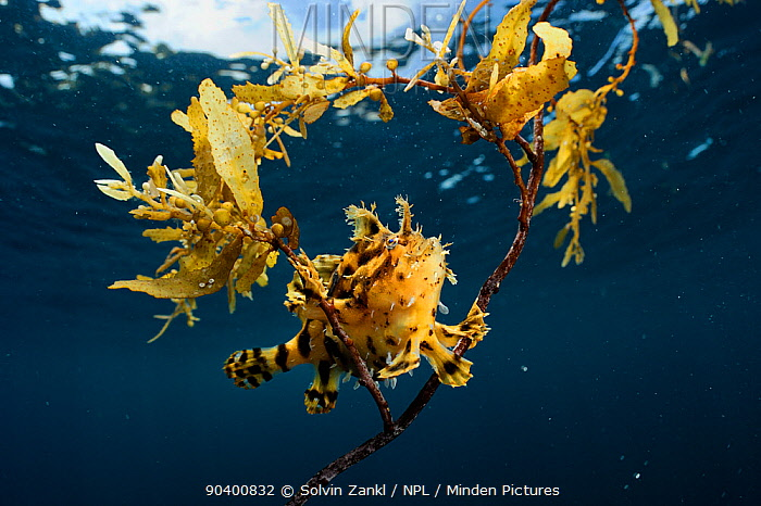 Sargassum fish (Histrio histrio) near the surface on floating Sargassum seaweed, Raja Ampat, West Papua, Indonesia, Pacific Ocean  -  Solvin Zankl/ npl