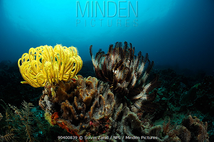Crinoid, Feather star (Comantheria briareus) and (Oxycomanthus bennetti) Raja Ampat, West Papua, Indonesia, Pacific Ocean  -  Solvin Zankl/ npl