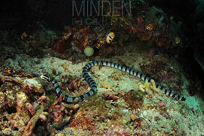 Belchers sea snake (Hydrophis belcheri) on coral reef, Raja Ampat, West Papua, Indonesia, Pacific Ocean  -  Solvin Zankl/ npl