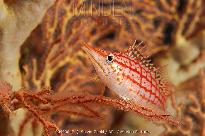 Longnose hawkfish (Oxycirrhites typus) in sea fan, Raja Ampat, West Papua, Indonesia, Pacific Ocean  -  Solvin Zankl/ npl