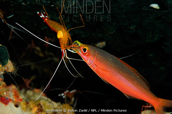 Humpback, Northern, Scarlet cleaner shrimp (Lysmata amboinensis) cleaning the mouth of a Banana fusilier (Pterocaesio pisang) Raja Ampat, West Papua, Indonesia, Pacific Ocean  -  Solvin Zankl/ npl