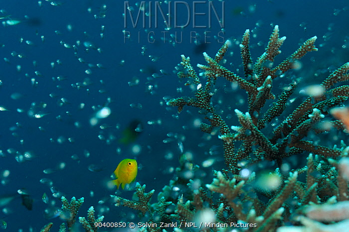 Stone coral (Acropora sp) with a Lemon damsel (Pomacentrus moluccensis) and shoal of fish, Raja Ampat, West Papua, Indonesia, Pacific Ocean  -  Solvin Zankl/ npl