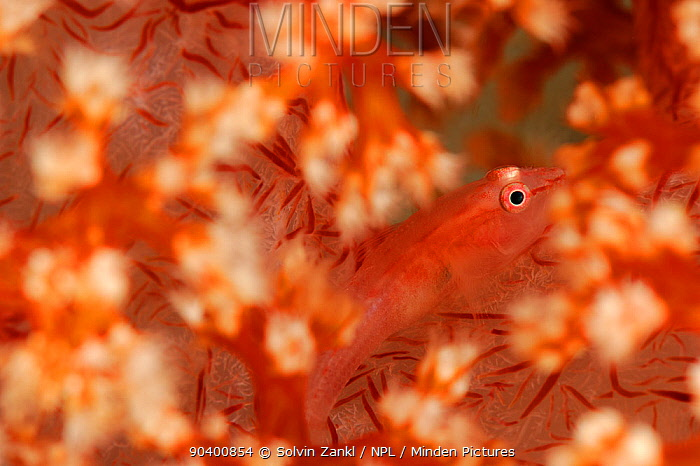 Soft coral ghost goby (Pleurosicya boldinghi) camouflaged amongst Soft coral, Raja Ampat, West Papua, Indonesia, Pacific Ocean  -  Solvin Zankl/ npl