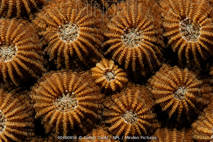 Diploastrea brain, Honeycomb coral (Diploastrea heliopora) with closed polyps, Raja Ampat, West Papua, Indonesia, Pacific Ocean  -  Solvin Zankl/ npl