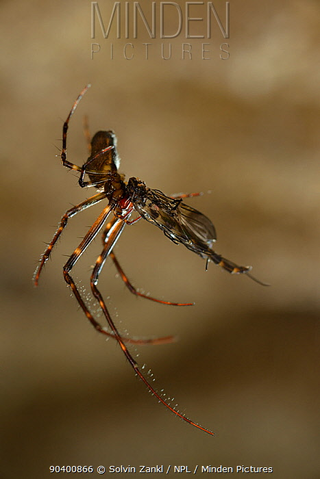 Spider feeding on a female Fungus gnat (Arachnocampa luminosa) caught in web, Glowworm cave near Waitomo Cave, near Te Kuiti, North Island, New Zealand, July  -  Solvin Zankl/ npl
