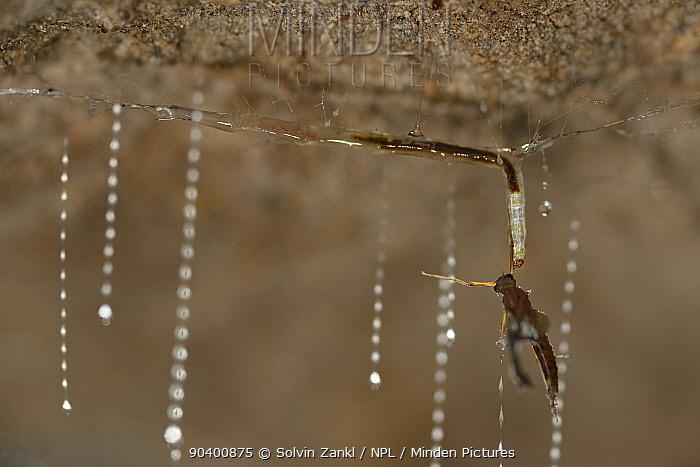 Fungus gnat (Arachnocampa luminosa) larva pulling up Mayfly caught in sticky silk threads hanging from cave roof, Glowworm cave near Waitomo Cave, near Te Kuiti, North Island, New Zealand, July  -  Solvin Zankl/ npl